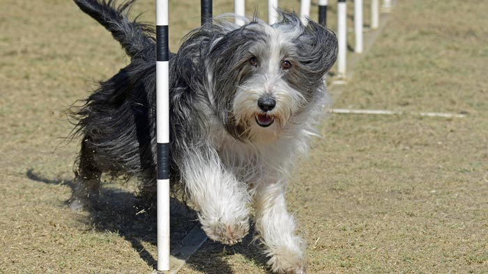 A-Framework of Dog Agility