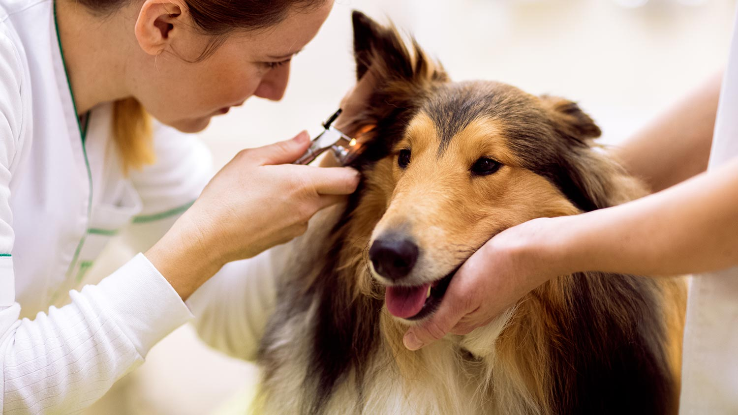 Deafness in Dogs