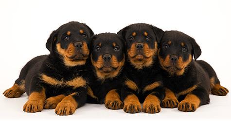 AKC Pet Insurance 30-Day Certificate | Breeder Benefit